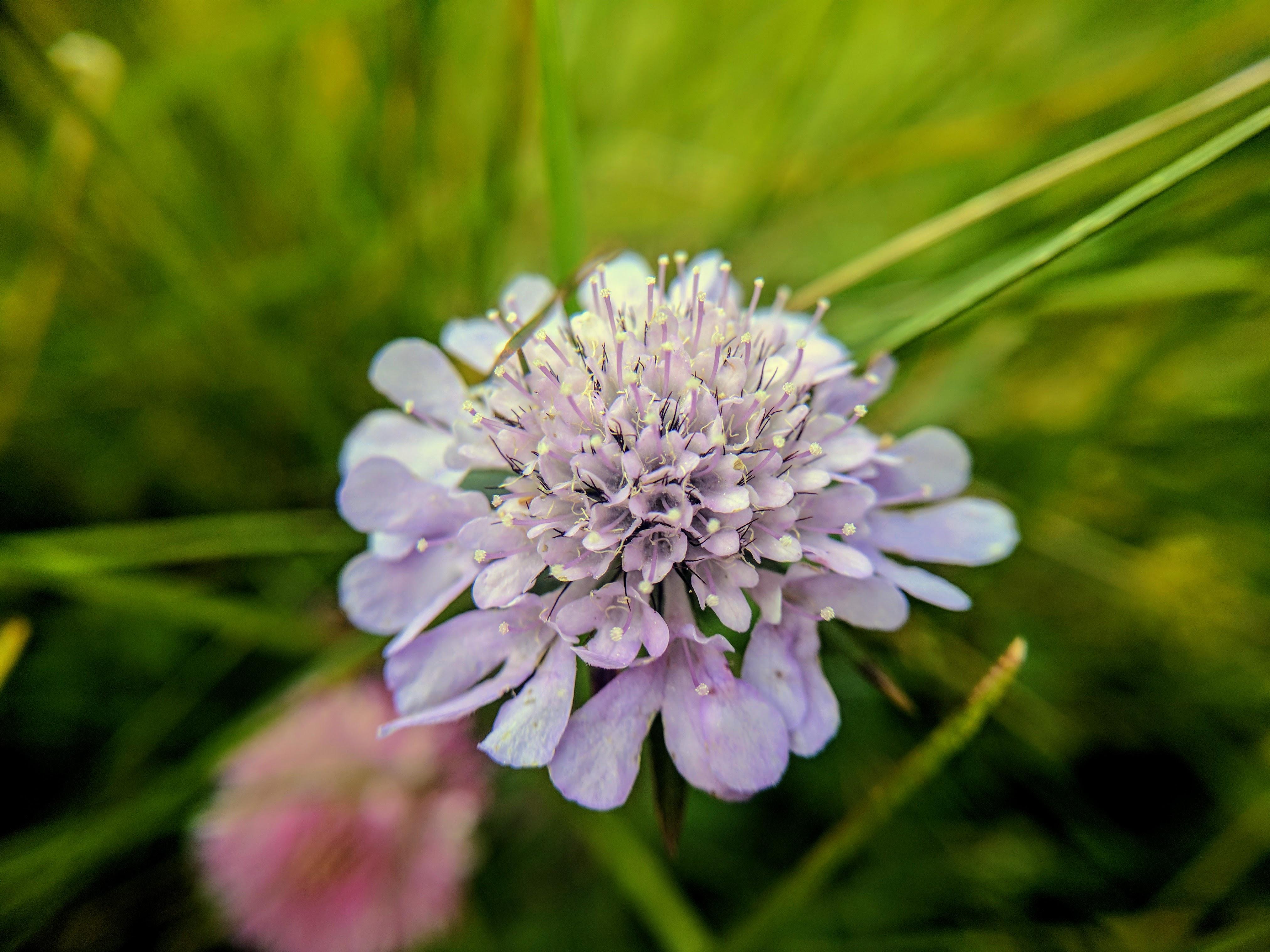 Wildflower on Mt Pilatus